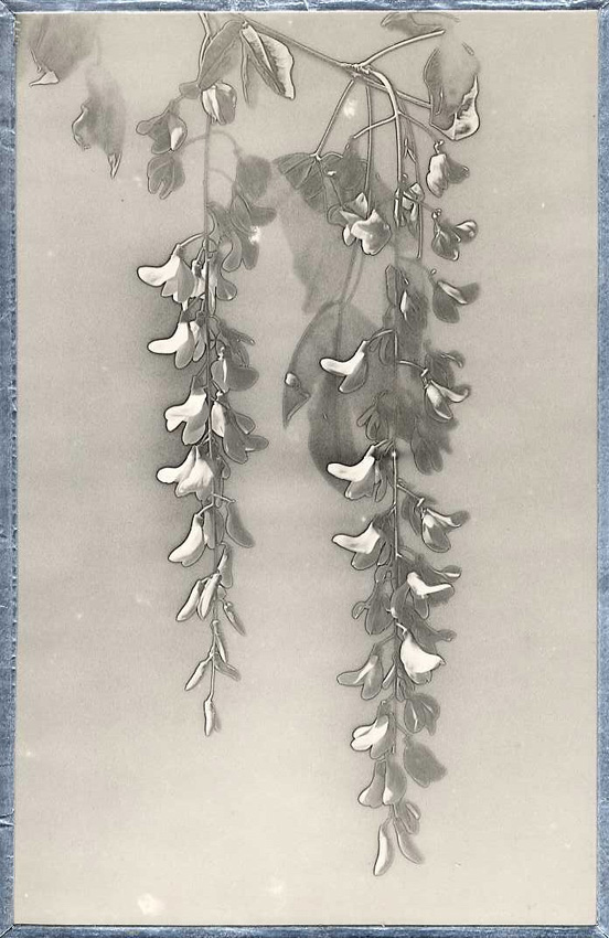 Henri M. Menet, Solarization of Flowers of Laburnum Tree, Silver print, 14 -1/2 x 9-1/4 in, 1937