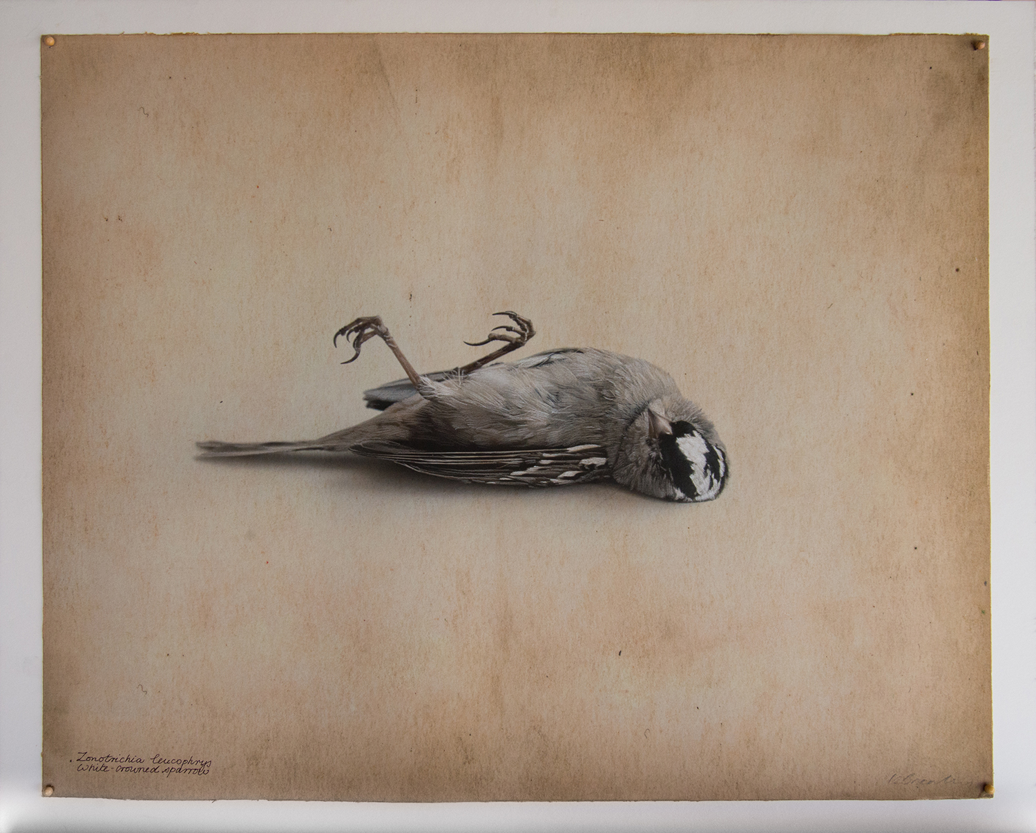 White Crowned Sparrow, Kate Breakey