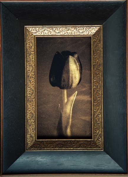 Kate Breakey, Black Tulip II