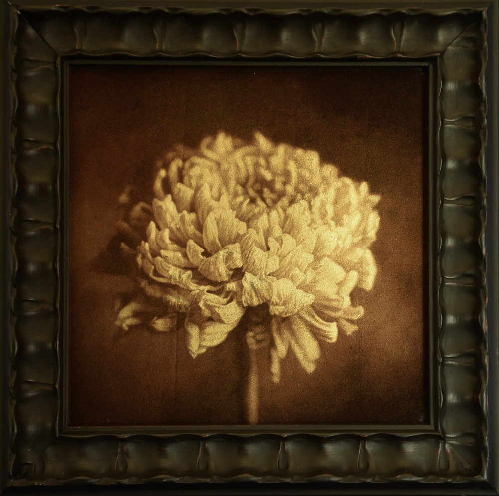 Kate Breakey, Chrysanthemum