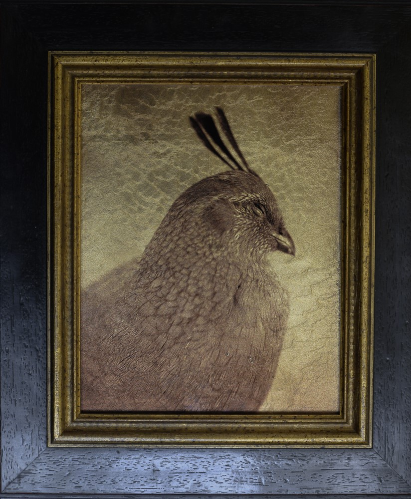 Kate Breakey, Gambel's Quail, Female