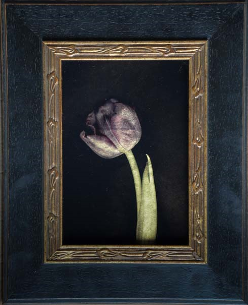 Kate Breakey, Purple Tulip