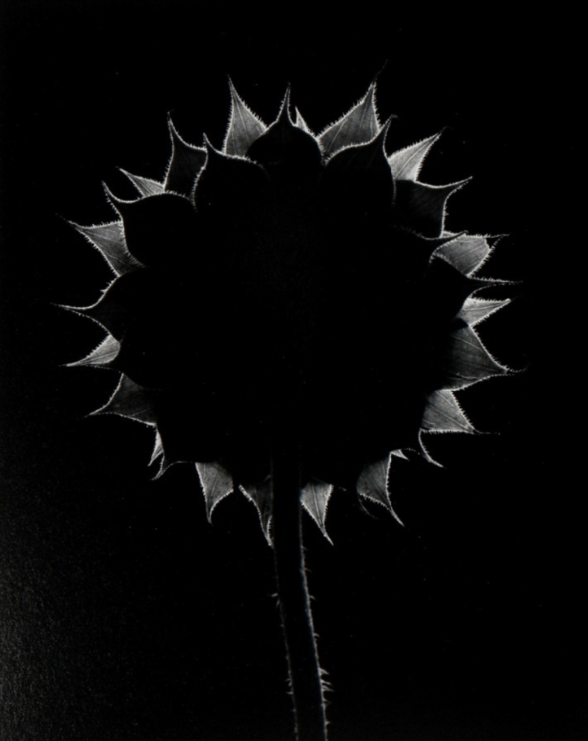Paul Caponigro, Sunflower, 1985, Catherine Couturier Gallery