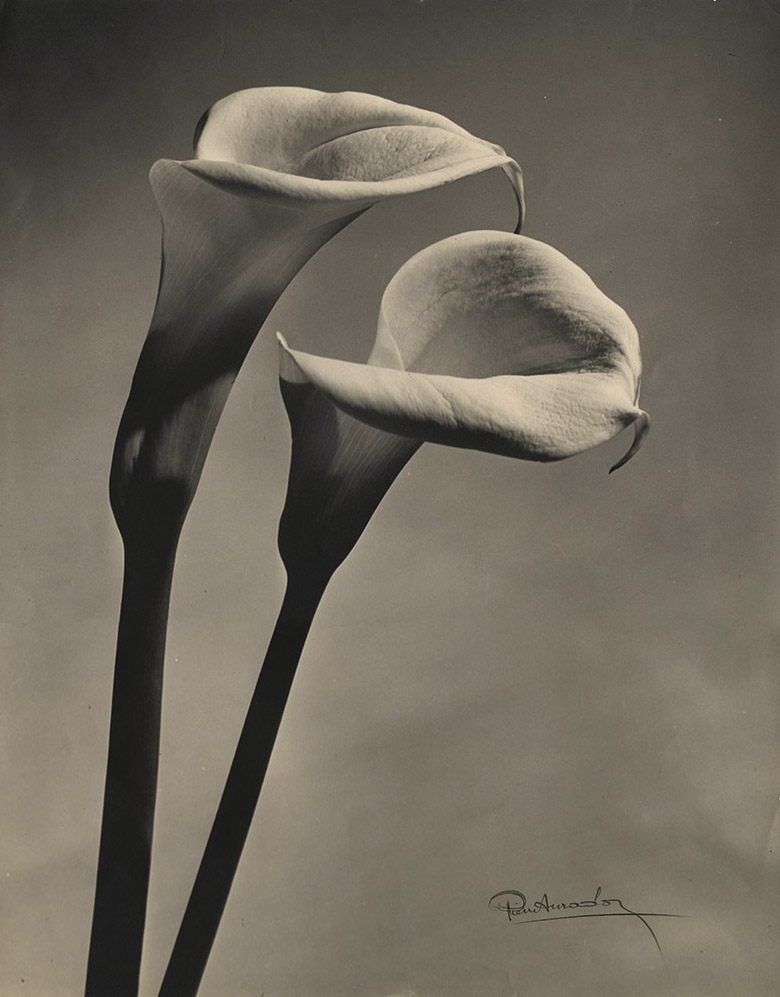 Pierre Auradon, Calla Lilly. Silver print, 19-5/8 x 15-11/16 in., 1940s/1940s