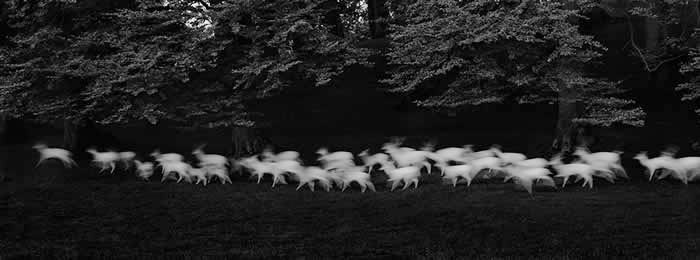 Paul Caponigro, Running White Deer, Catherine Couturier Gallery